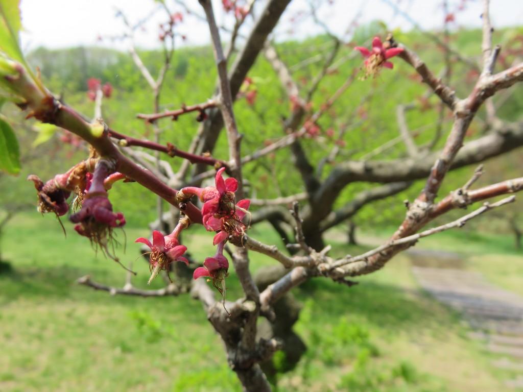 平岡公園に咲く梅