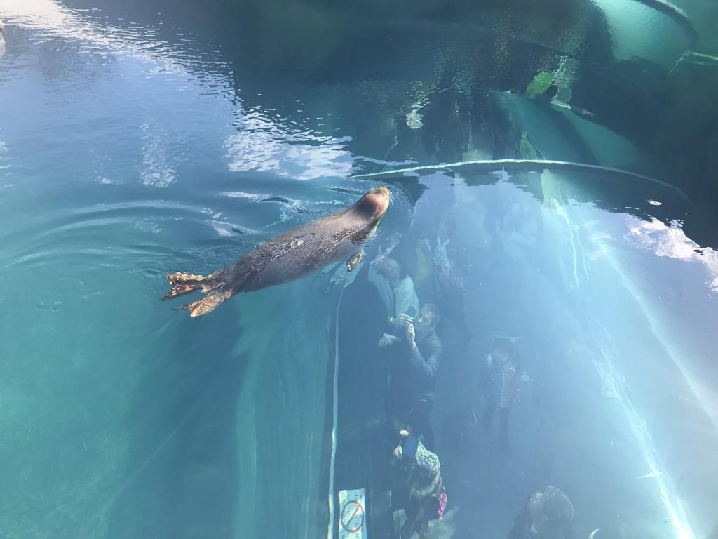 優雅に泳いでいるアザラシ