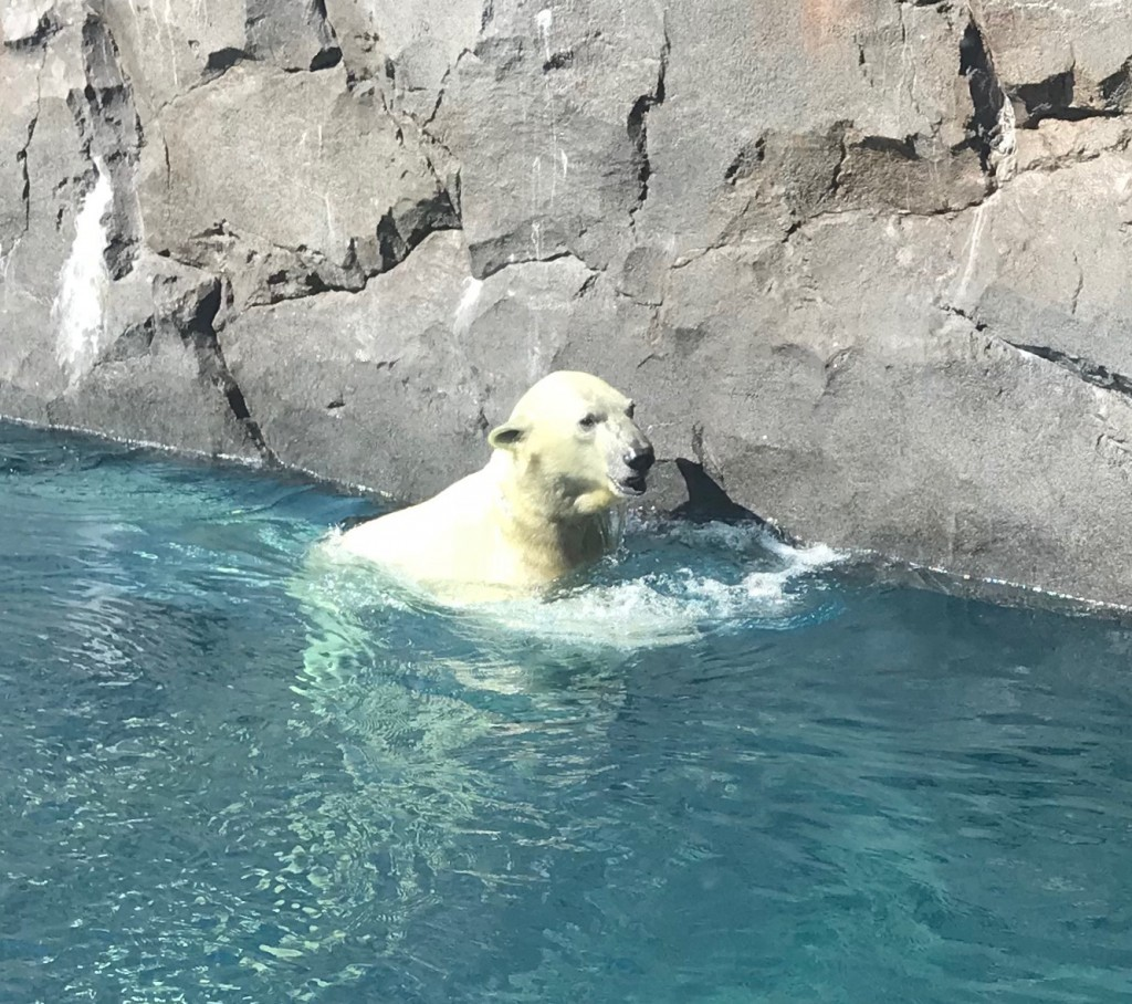 水中から顔を出したホッキョクグマ
