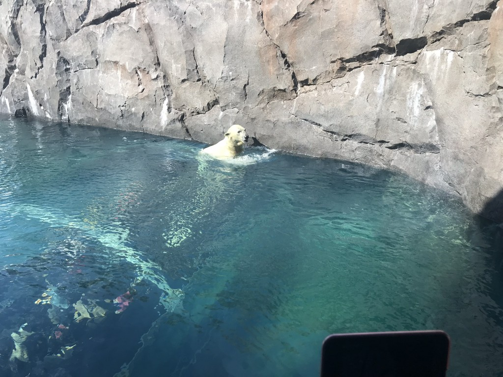 プールから顔を出したホッキョクグマ