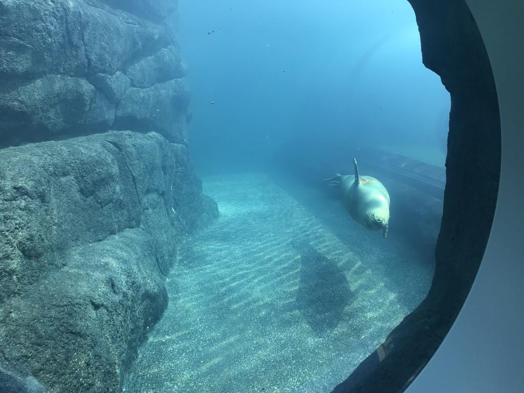 泳いで来るアザラシ