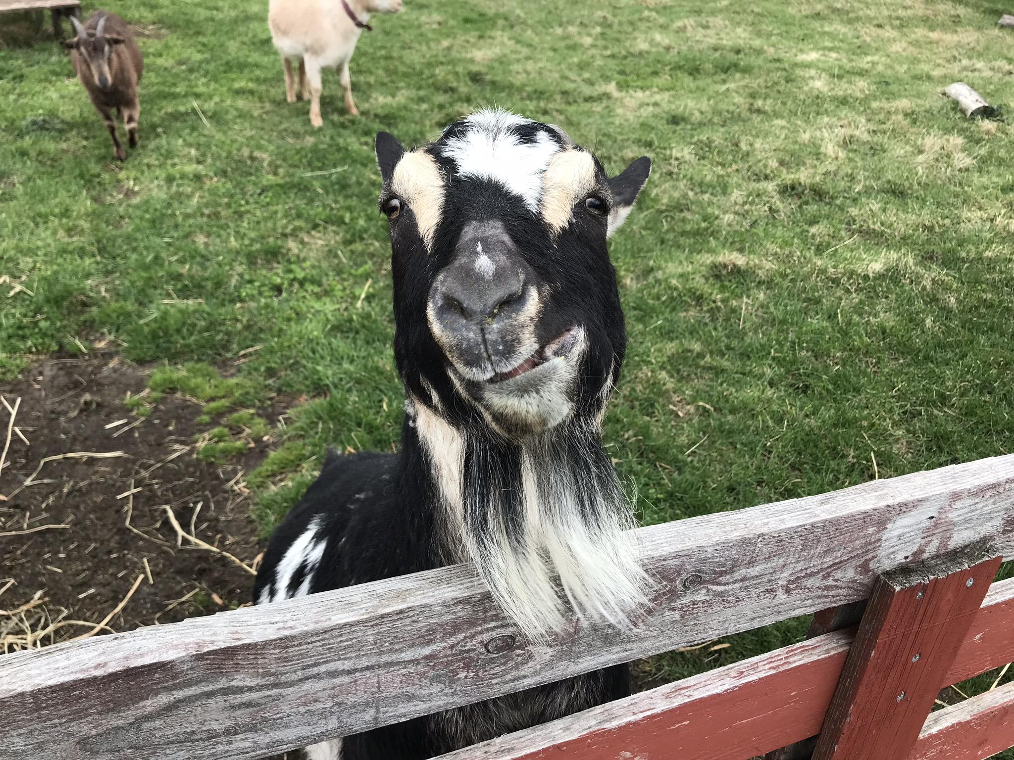 エサをあげたヤギ