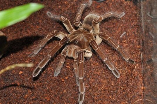 世界最大級の毒蜘蛛の「ゴライアスバードイーター(タランチュラ)」