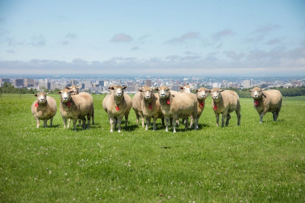 さっぽろ羊ヶ丘展望台が60周年記念を開催!ひつじレースに肉カーニバルまでイベント盛りだくさん!