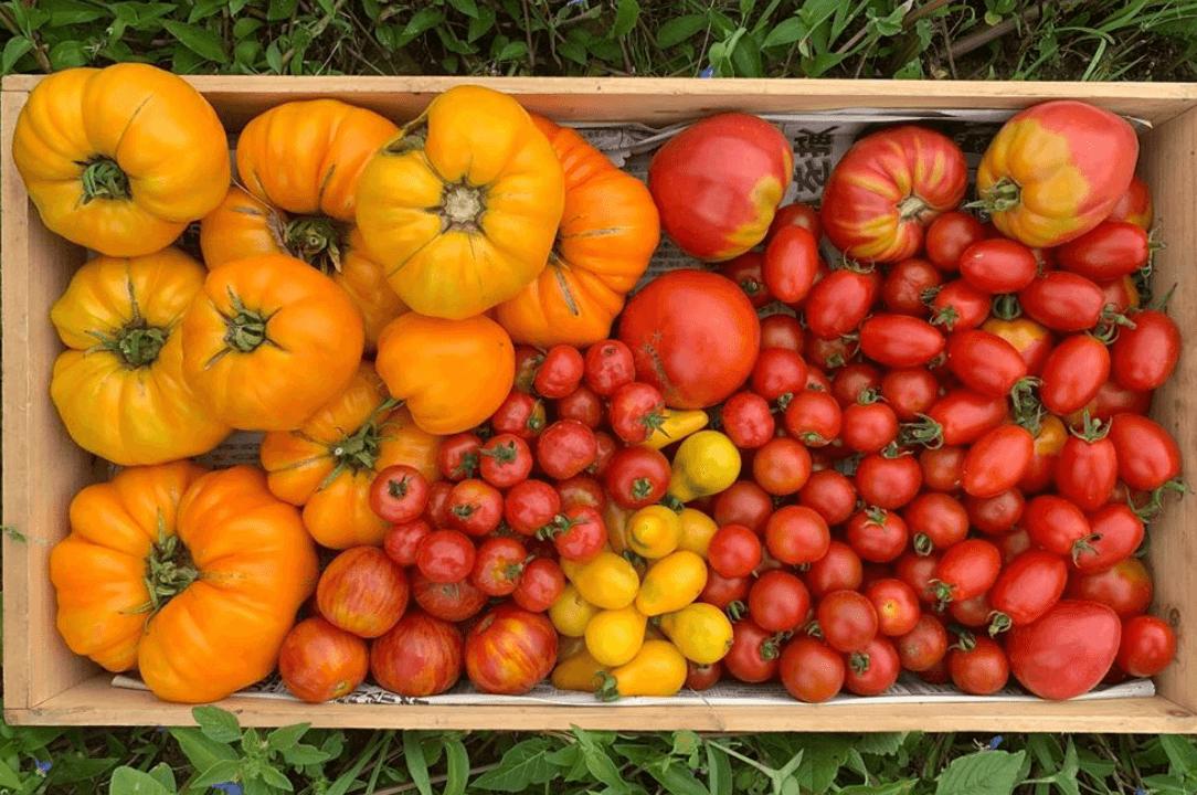 多種多様なトマトなどを販売予定。
