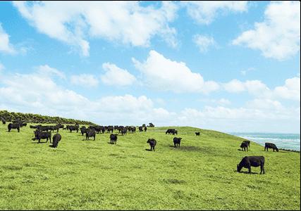 びっくりドンキーで放牧飼育している牛