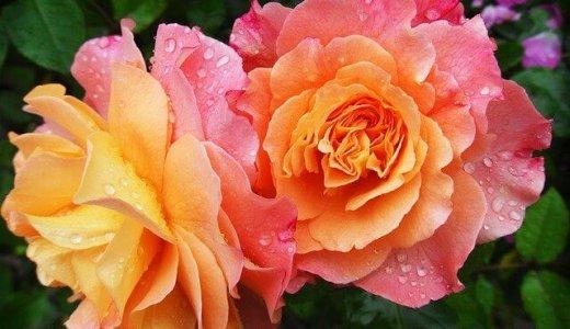 【カラル マックスバリュ新琴似店】北区に季節に合わせた花も楽しめる花屋がオープン!